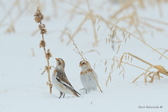 Well, you going to go for it? (Earl Reinink) Tags: bunting finch bird animal snowbunting snow winter field flight movement earl reinink earlreinink weed seed tzuddaudza