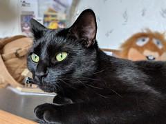 Sam (CopperScaleDragon) Tags: sam cat blackcat feline samcatblackcat