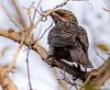 Asian Koel female. (Mohsan Raza Ali Baloch) Tags: nature wild wildlife trails islamabad bird birdwatcher birdlover