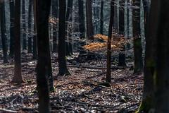 Remaining leaves (Henk Verheyen) Tags: boom bos natuur winter garderen gelderland nederland nl forest leaves bladeren stammen trunk donker dark nature wood tree