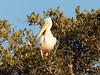 20170724-075208-00388B- (hugoholunder) Tags: pelikan baum botswana okovangodelta afrika