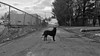 """Anticipation"" (lunat1k) Tags: dog black anticipations suspense blackandwhite shotoniphone sofia bulgaria nuboyanafilmstudios"