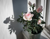 Rose (V Photography and Art) Tags: growing pink rose flowerpot window windowsil light shadows