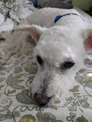 February 27: Dog (earthdog) Tags: 2018 dog pet liveanimal animal google pixel androidapp moblog cameraphone googlepixel poodlemix project365 3652018