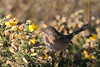 Dartford warbler (roger_forster) Tags: dartford warbler sylviaundata wild bird gorse feeding lymington hampshire normandylagoon pennington