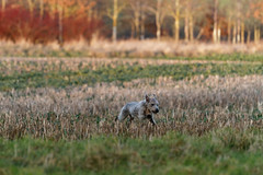 Margot hunting in the late winter sun. (Kangurs1) Tags: winter beblinton whippet canon 70200f4l