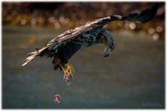 Catch! (Palmius Photo) Tags: haliaeetusalbicilla seaeagle havsörn catch fånga