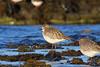 Grey Plover, Ruddons Point, Fife, Scotland (Terathopius) Tags: largobay fife ruddonspoint scotland unitedkingdom uk greatbritain gb greyplover pluvialissquatarola pluvialissquatarolasquatarola