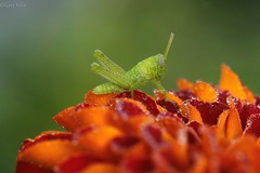 038 90mm tiny grasshopper on marigold petals (grilee3) Tags: grasshopper marigold macro dew drops green orange florida