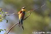 Merops apiaster (Linnaeus, 1758) (Luís Gaifém) Tags: meropsapiaster coraciiformes meropidae abelharucocomum abelharucoeuropeu abelharuco abelheiro barranqueiro bilheirós melharuco papaabelhas bienenfresser europeanbeeeater abejarucoeuropeo abejarucocomún guêpierdeurope abellaruco abelleiro золотистаящурка luísgaifém ave pássaro bird mirandela