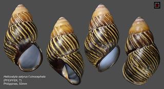 helicostyla satyrus cynocephala1 philippines 53mm