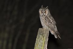 Hibou moyen-duc (swisscore) Tags: longearedowl owl owls hibou hiboux moyenduc hiboumoyenduc nocturne oiseau oiseaux night nuit noir aigrette oreilles bird birds