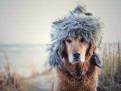 02/52 cold, cold morning (Jutta Bauer) Tags: hat coldist morning winter goldenretriever dog almightyalbert albert 52weeksforalbert 52weeksfordogs