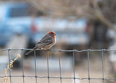 015/365 Sitting on the Fence (Helen Orozco) Tags: 15365 housefinch fence 2018365 male finch haemorhousmexicanus