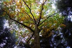 (Kévin Proust) Tags: forest tree foliage autumn autumnfoliage light fog foggy morning nature