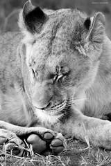 Lioness (Enrico L. ) Tags: africa sudafrica southafrica hoedspruit karongwe gamereserve safari southafricasafari lioness leonessa leoni wild animali wildanimals bnw blacknwhite blackandwhite canoneos5dmarkiii 5dmarkiii travel viaggi safariafrica