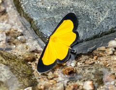 IMG_8224  Moth(Smicropus Eucyrta) (suebmtl) Tags: zamorachinchipeprovince zamora ecuador moth yellow smicropuseucyrta insect lepidoptera