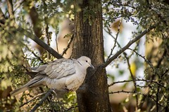 2018-01-09_10-11-48 (Farrukh Mustahsan) Tags: birds wildlife aviary wild pigeons nature tree