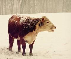 DSCN7804 (emiliana d) Tags: farm caws snow winter miniature donkeys