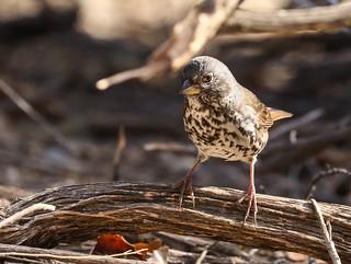 Fox Sparrow Inceville Los Liones Canyon Los Angeles California  063