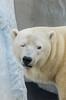 2018-01-23 (silare) Tags: eye closed frown annoyed disappointed unimpressed polarbear whitebear white bear mammal animal arctic carnivore szenja snowflake seaworld sandiego california