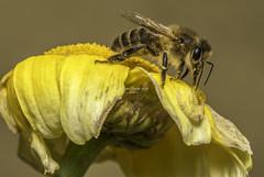 The bee's knees (stevenbailey7) Tags: bees bee apis nature wildlife insects nikon tamron90mm honeybee flowers yellow closeup closeups plants animals summer2017 honey potrait garden summer
