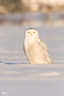 ''Blanche neige!'' Snowy owl