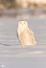 ''Blanche neige!'' Snowy owl (pascaleforest) Tags: hibou owl snowy bird oiseau animal passion nikon nature lumière light québec canada winter hiver snow neige wild wildlife faune nationalgeographic