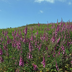 Patch of foxgloves on slope, with sky behind thumbnail