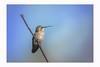 On guard (Krasne oci) Tags: hummingbird hummer smallbirds bird sky wildbird nature wildlife evabartos photographicart artphotography