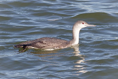 Red-throated Loon (tresed47) Tags: 2018 201801jan 20180126newjerseybirds barnegatlightsp birds canon7d content folder january loon newjersey peterscamera petersphotos places redthroatedloon season takenby us winter ngc