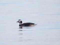 Clangula hyemalis Long-tailed Duck (cawthraw) Tags: clangulahyemalis longtailedduck dawlishwarren devon