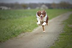 Et maintenant en me lâchant des deux pieds !... (*Jost49*) Tags: animal chien dog course run content happy campagne country canoneos6dmkii canonef70200f28lis inexplore