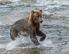 Ready for Action (cheryl strahl) Tags: alaska katmainationalparkandpreserve brownbear grizzlybears fishing sockeyesalmon claw determination focus creek water splash canon 7dmii