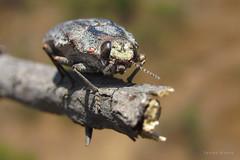 Ectinogonia buqueti (Coleoptera, Buprestidae) (Javier Gross) Tags: insect insects insecto insectos insectosdechile chile wildlife bug arthropod invertebrate biodiversidad biodiversity animals macro nature naturaleza