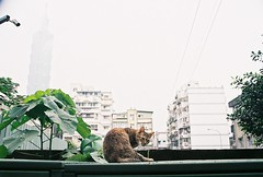 Taipei 101 (YL.H) Tags: 台北 貓 底片 吳興新村 taiwan taipei canon cat film analog agfa 500n taipei101