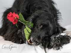 6/52 - Sammy 2018 (conniegavin12) Tags: 52weeksfordogs fieldspaniel spaniel dog pet valentine