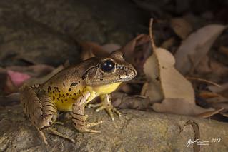 Fleays Barred Frog