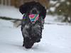 Snowball (rockyrutherford) Tags: ball spaniel dog play fetch