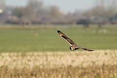 Velduil - Asio flammeus - Short-eared Owl (merijnloeve) Tags: velduil asio flammeus shorteared owl uilen uil owls birds noordeloos alblasserwaard nederland
