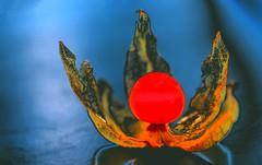 secret deep sea berry (HansHolt) Tags: secret deep sea berry physalis physalisoceanaincognita ocean water orange oranje calyx kelk fruit food bokeh dof macro abstract canon 6d 100mm canoneos6d canonef100mmf28macrousm hss