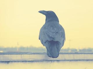 Crow 05-02-2018