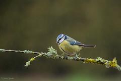 AGUANTANDO EL CHAPARRÓN (Carlos Cifuentes) Tags: herrerilllocomun cyanistescaeruleus ferreiriñoazul eurasianbluetit carloscifuentes wildlife wildlifenature bird birds nature