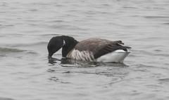 _U7A4064 (rpealit) Tags: scenery wildlife nature edwin b forsythe national refuge brigantine brant goose bird