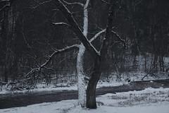 the dancers (Mindaugas Buivydas) Tags: lietuva lithuania color winter january tree trees forest evening twilight pavilniųregioninisparkas pavilniairegionalpark sadnature shallowdepthoffield waitingforthenight mindaugasbuivydas river vilnia winterblue