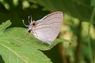 Hypolycaena philippus (Common Hairstreak or Purple Brown Hairstreak) Female  (B00022, GH0014)