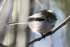 """longtailedtit-a • <a style=""""font-size:0.8em;"""" href=""""http://www.flickr.com/photos/157241634@N04/39589010895/"""" target=""""_blank"""">View on Flickr</a>"""