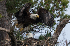 Bald Eagles of the Jersey Shore | 2018 - 20 (RGL_Photography) Tags: americanbaldeagle bif baldeagle birding birds birdsinflight birdsofprey birdwatching eagle freedom gardenstate godblessamerica haliaeetusleucocephalus jerseyshore monmouthcounty newjersey nikonafs600mmf4gedvr nikond500 raptors symbolofamerica us unitedstates wildlife wildlifephotography