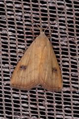 Seideneulchen (planetvielfalt) Tags: auenwald lepidoptera noctuidae rivulinae schkeuditz sachsen deutschland