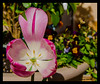 Tulipan (Milo10050) Tags: t tulipan flower nature nikon d7000 tamron 18250